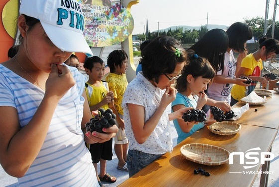지난 2015년 열린 고서포도축제 포도먹기 체험. (사진 = 담양군)