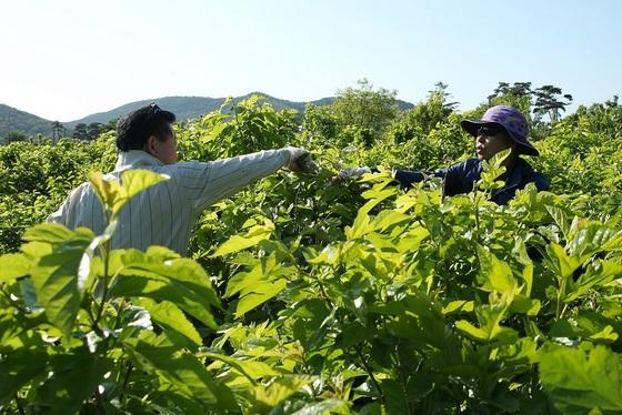 김기춘, 나상성(사진 좌측부터) 의원이 영농 철 부족한 일손으로 어려움을 겪고 있는 농가를 방문해 일손 돕기 봉사활동을 펼치고 있다. (사진 = 광명시의회)
