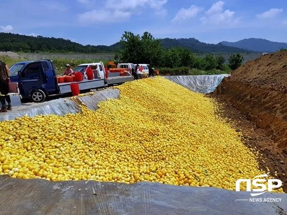 지난 9일부터 시작된 성주군의 참외 수매사업으로 생산된 참외들이 땅에 묻히고 있다. (사진 = 성주 주민 제공)