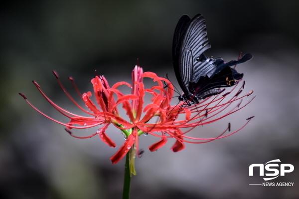 꽃망울을 터트린 여수 영취산 꽃무릇에 긴꼬리제비나비가 앉아 있다. (사진 = 여수시)