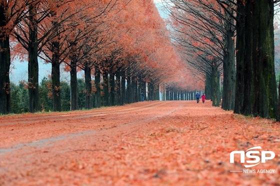 주황색으로 곱게 물든 전북 진안군 부귀면 메타세쿼이아 길이 보는 이들의 탄성을 자아내고 있다.
