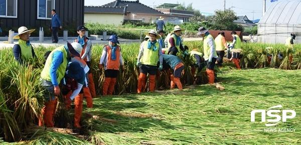 농협광주지역본부 임직원들이 태풍피해를 입은 광주 광산구 일대에서 벼 세우기 작업을 하고 있다. (사진 = 농협광주본부)