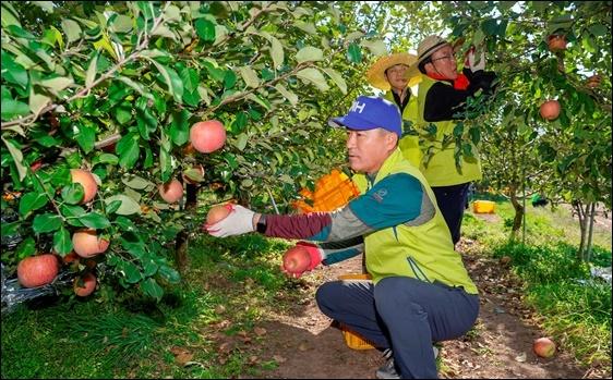 최창수 농협금융지주 경영기획부문 부문장(부사장)과 임직원들이 사과 수확 작업을 하고 있다. (사진 = 농협금융지주)