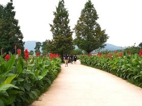 [NSP PHOTO]상주시농업기술센터, 경천섬에 '칸나 꽃길' 조성