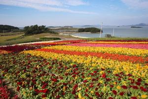 [NSP PHOTO]신안군, 바다 위에 피어난 맨드라미 꽃동산