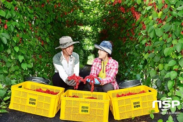 동로면 오미자 농장에서 부부가 오미자를 수확하고 있다. (사진 = 문경시)