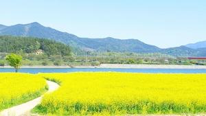 광양시, 섬진강변 노란 유채꽃 물결 한창...